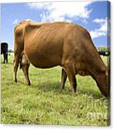 Cattle Grazing Canvas Print