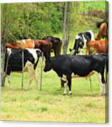 Cattle In A Pasture Canvas Print