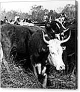 Cattle: Longhorns Canvas Print