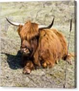 Cattle Scottish Highlanders, Zuid Kennemerland, Netherlands Canvas Print