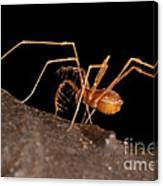 Cave Harvestman Canvas Print