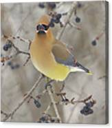 Cedar Wax Wing Canvas Print