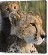 Cheetah Acinonyx Jubatus And Cub Canvas Print