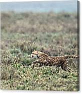 Cheetah Acinonyx Jubatus Hunting Canvas Print