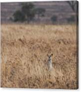 Cheetah In The Tall Grass Canvas Print