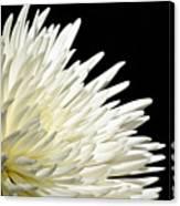 Chrisanthium On Black  Canvas Print