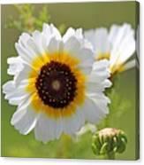 Chrysanthemum Named Polar Star Canvas Print