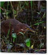 Cinnamon Bittern Canvas Print