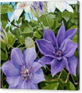 Clematis 2 Canvas Print