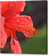 Close Up Of A Red Hibiscus Canvas Print