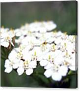 Close-ups Of A White Meadow Flower Canvas Print