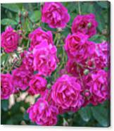 Cluster Of Roses Canvas Print
