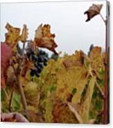 Colchagua Valley Vineyard  Canvas Print