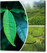 Collage Of  Tea Plantations In Munnar  Canvas Print