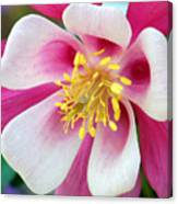 Columbine Flower 1 Canvas Print