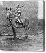Comic Criminal Riding A Zebra Canvas Print
