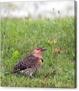 Common Flicker Canvas Print
