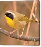 Common Yellow-throat Canvas Print