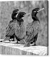 Cormorant Trio Canvas Print