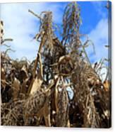 Corn Stalks Drying In The Sun Canvas Print
