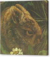 Cottontail Young Canvas Print