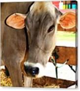Cow 2 Canvas Print