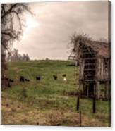 Cows In A Field By A Barn Canvas Print