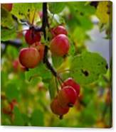 Crab Apples Canvas Print