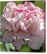 Creamy White With Red Picotee Carnation Canvas Print