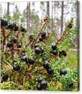 Crowberry Canvas Print