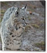 Curious Wandering Bobcat Canvas Print