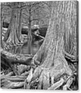 Cypress Trees I V Canvas Print
