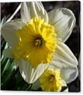 Daffodil Days Canvas Print