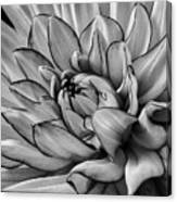 Dahlia In Black And White Close Up Canvas Print