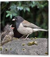 Dark-eyed Junco Mother And Baby Canvas Print