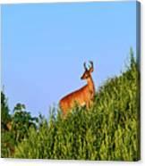 Deer Buck. Canvas Print