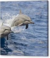 Dolphins Leaping Canvas Print