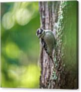 Downy Woodpecker In The Wild Canvas Print