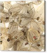 Dried Fruits Of The Cape Gooseberry Canvas Print