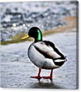 Duck On Ice Canvas Print