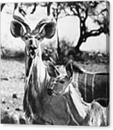East Africa: Kudu Canvas Print