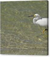 Eastern Great Egret In Florida Canvas Print