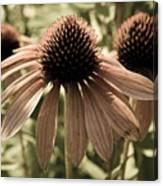Echinacea Garden Canvas Print
