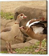 Egyptian Geese Canvas Print