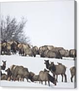 Elk Herd In The Snow Canvas Print