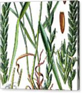 Elymus Repens, Commonly Known As Couch Grass Canvas Print