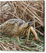 European Bittern Canvas Print
