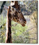 Fall Giraffe I Canvas Print