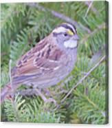 Fall Sparrow Canvas Print