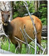 Female Elk Yellowstone Canvas Print